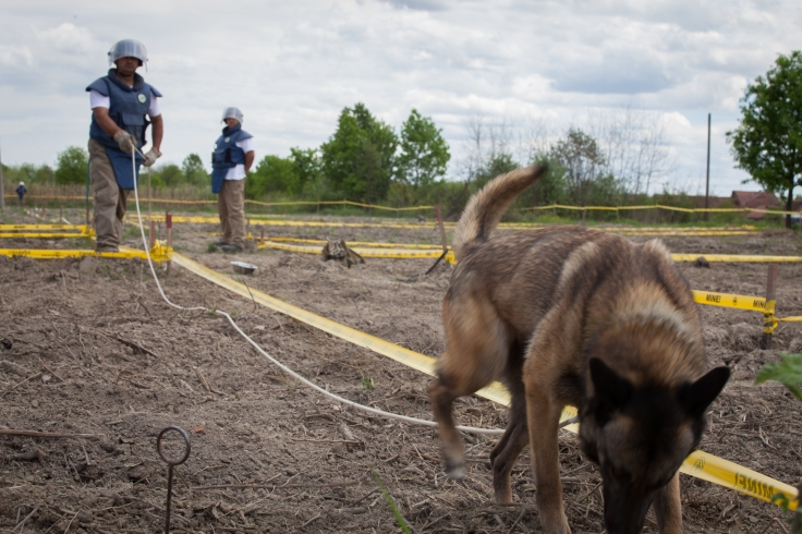 Donji Rahić. A dog is searching for landmines.
